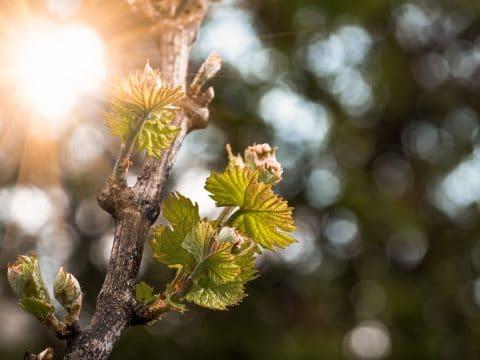 Frühlingsknospen im Weingarten