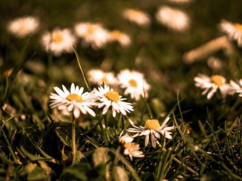 gänseblümchen in der Frühlingswiese