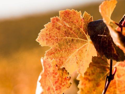 Herbstlaub im Weingarten